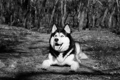 A língua ronca dos risos e das mostras de um cão, Malamute satisfeito encontra-se na floresta na terra e olha-se acima fotografia de stock royalty free