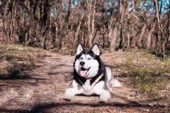 A língua ronca dos risos e das mostras do cão, Malamute satisfeito encontra-se na floresta na terra e olha-se acima imagens de stock royalty free