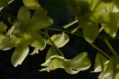A língua roxa amarela da orquídea do Dendrobium tem uma cor amarela da flor combinada fotos de stock