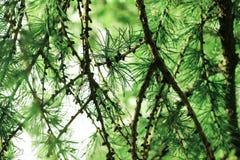 Lío de las ramas del alerce con las agujas verdes claras Foto de archivo libre de regalías