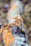 Líquene alaranjado e verde que cresce em um log de deterioração Imagem de Stock