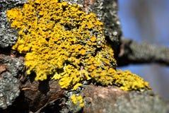 Líquene amarelo Foto de Stock
