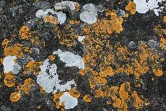 Líquene amarelo de Cructose do líquene que cresce na pedra na natureza Imagens de Stock Royalty Free