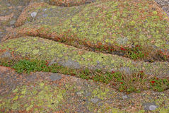 Líquene & musgo no granito cor-de-rosa Fotos de Stock