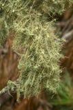 Líquene do Usnea drapejado sobre ramos em Cape Cod, Massachusetts fotografia de stock
