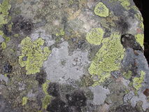 Líquene dos Carpathians ucranianos Musgo e algas nas rochas Fotos de Stock