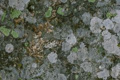 Líquene e fundo e textura naturais do musgo Parede cinzenta velha coberta com o líquene e o musgo Texturas e fundos orgânicos imagem de stock