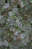 Líquene e fundo e textura naturais do musgo Parede cinzenta velha coberta com o líquene e o musgo Texturas e fundos orgânicos fotos de stock royalty free