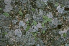 Líquene e fundo e textura naturais do musgo Parede cinzenta velha coberta com o líquene e o musgo Texturas e fundos orgânicos imagens de stock royalty free