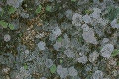 Líquene e fundo e textura naturais do musgo Parede cinzenta velha coberta com o líquene e o musgo Texturas e fundos orgânicos fotografia de stock