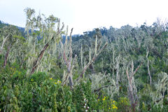 Líquene em montanhas do ruwenzori Imagens de Stock