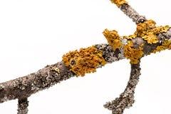 Líquene em um ramo de árvore Imagem de Stock