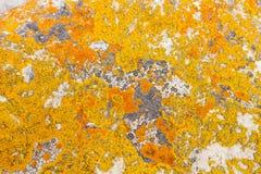 Líquene litoral amarelo e alaranjado no pedregulho branco imagem de stock royalty free