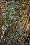 Líquene na casca de árvore fotografia de stock