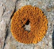 Líquene na pedra 2 Imagem de Stock