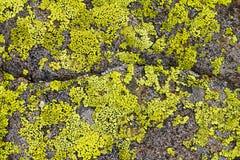 Líquene no teste padrão da textura do fundo da rocha Imagens de Stock