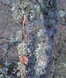 Líquene no vidoeiro de prata, Crieff, Perthshire, Escócia Imagem de Stock