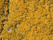 Líquene (parietina de Xanthoria) Imagens de Stock