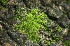 Líquene verde do musgo, casca áspera fotos de stock
