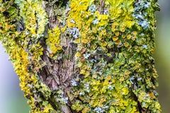Líquenes amarelos na árvore Foto de Stock