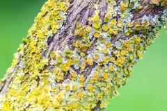Líquenes amarelos na árvore Foto de Stock Royalty Free