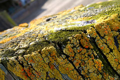 Líquenes amarelos na madeira Fotografia de Stock