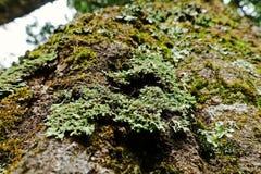 Líquenes, musgos e flora na floresta tropical natural fotografia de stock