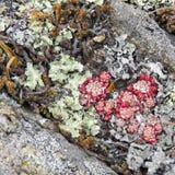 Líquenes verdes, vermelhos, amarelos, cinzentos entre as pedras fotos de stock royalty free