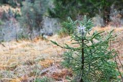 Líquido amargo que reveste a ponta do arbusto do pinheiro para impedir cervos fotografia de stock