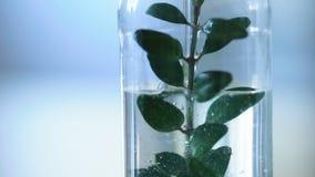 Líquido de colada del investigador en botella con la planta dentro, trabajo de laboratorio en la escuela metrajes