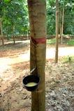 Líquido de goma durante cosecha con la taza Imagenes de archivo