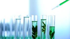 Líquido nos tubos do laboratório, testes ervais do verde do gotejamento do cientista dos cosméticos da anti-idade imagens de stock