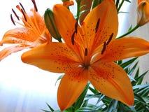 Lírio alaranjado - Lilium Bulbiferum Fotografia de Stock Royalty Free