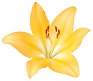 Lírio amarelo Imagem de Stock Royalty Free