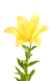 Lírio amarelo Foto de Stock Royalty Free