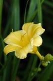 Lírio amarelo imagem de stock