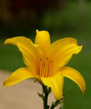 Lírio amarelo Fotografia de Stock Royalty Free