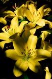 Lírio amarelo Fotografia de Stock