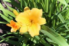 Lírio amarelo Imagens de Stock Royalty Free