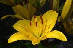 Lírio amarelo bonito em uma obscuridade - jardim verde Fotos de Stock