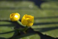 Lírio amarelo da flor em um fundo verde Fotos de Stock Royalty Free