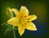 Lírio amarelo em um fundo branco Fotografia de Stock