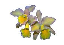 Lírio amarelo no fundo branco Imagens de Stock Royalty Free