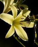 Lírio amarelo no fundo escuro Imagem de Stock Royalty Free
