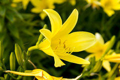 Lírio amarelo no jardim fotografia de stock royalty free
