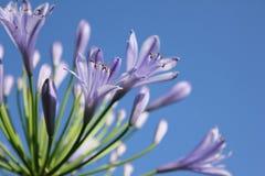 Lírio azul Fotografia de Stock Royalty Free