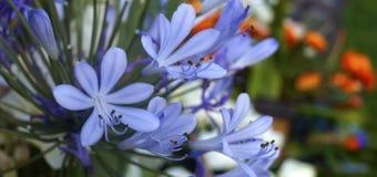 Lírio azul africano Fotos de Stock