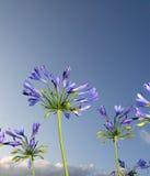 Lírio azul africano Fotos de Stock Royalty Free