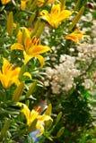 Lírio bonito do yello e flores brancas Imagens de Stock Royalty Free