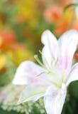 Lírio branco Imagem de Stock